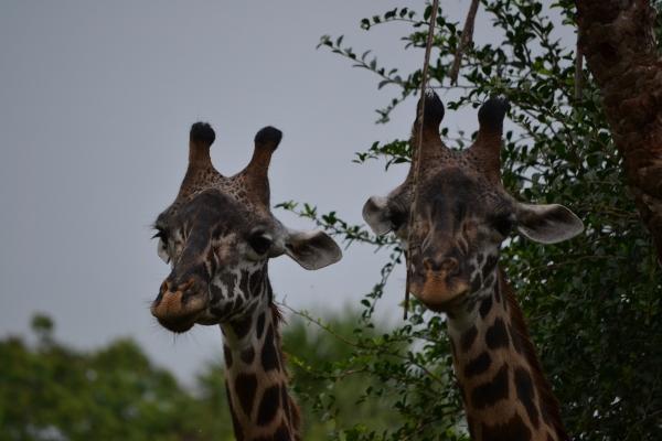 Kilimanjaro Safaris Giraffes